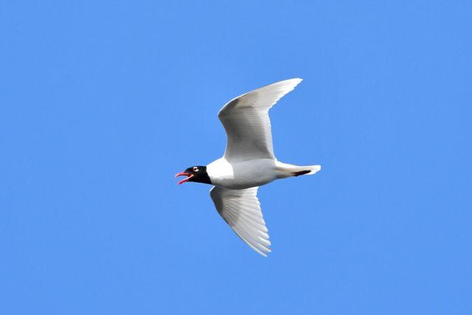 Mediterranean Gull  - Marcin Sołowiej