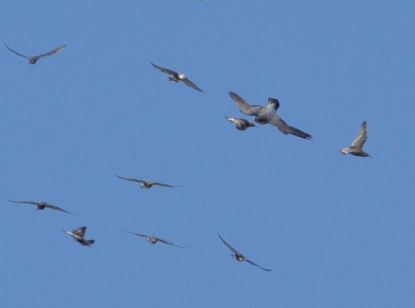 Peregrine Falcon  - Łukasz Krajewski