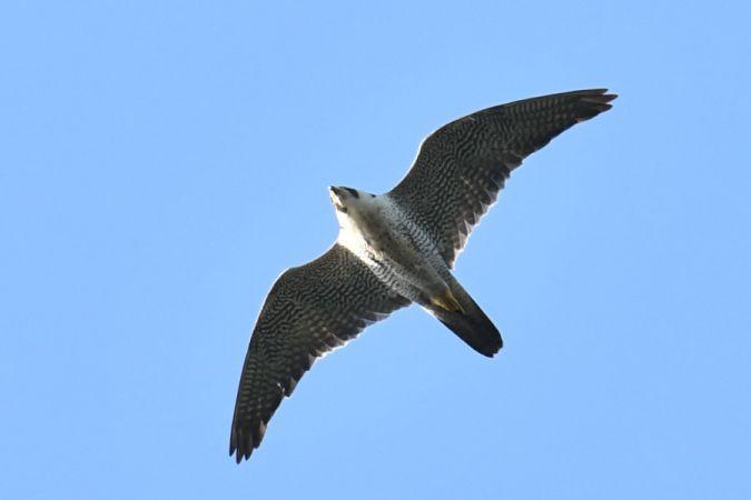 Peregrine Falcon  - Marcin Sołowiej