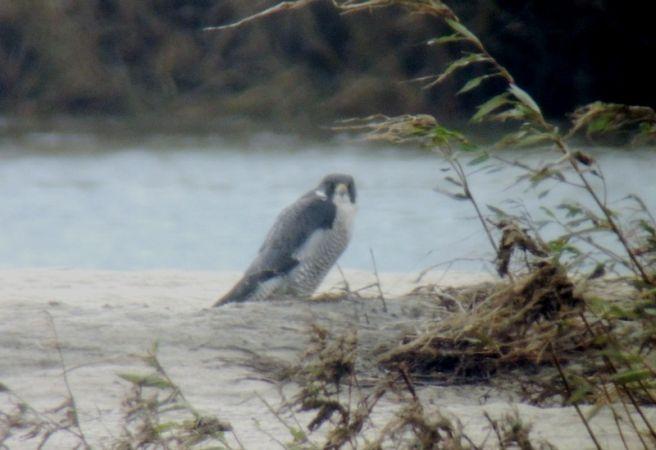 Peregrine Falcon  - Magdalena Traciłowska