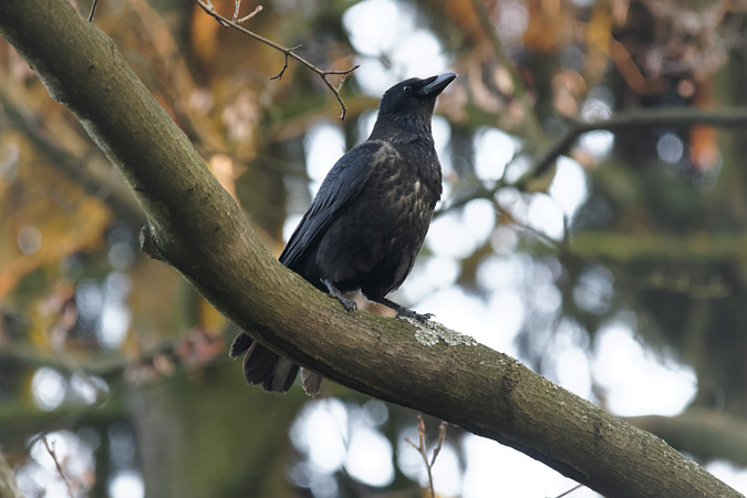 czarnowron x wrona siwa