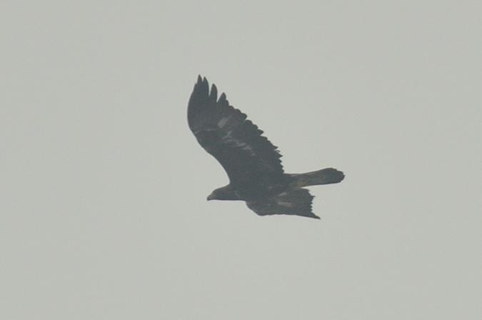 Golden Eagle  - Arek Urbaniec
