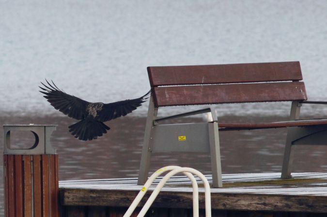 czarnowron x wrona siwa  - Krzysztof Jankowski