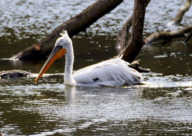 pelikan kędzierzawy  - Anonim