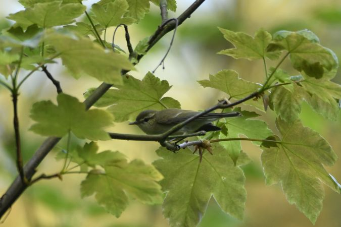 Greenish Warbler  - Marcin Sołowiej