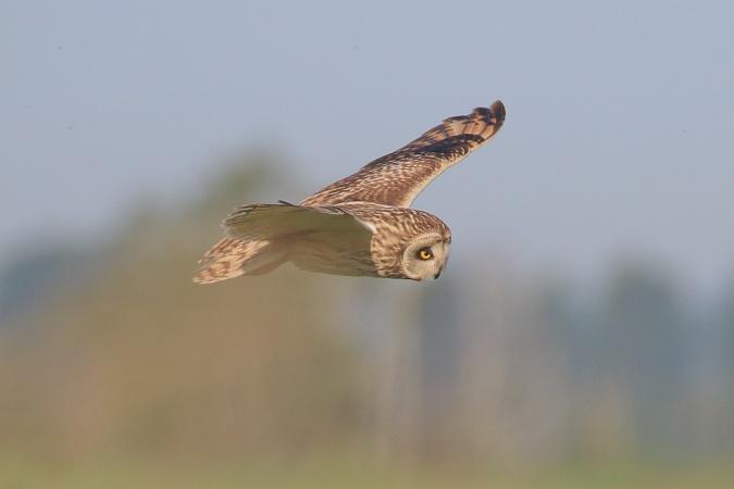 Short-eared Owl  - Mateusz Ściborski