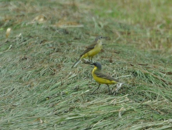 Western Yellow Wagtail (M.f.thunbergi)  - Łukasz Krajewski