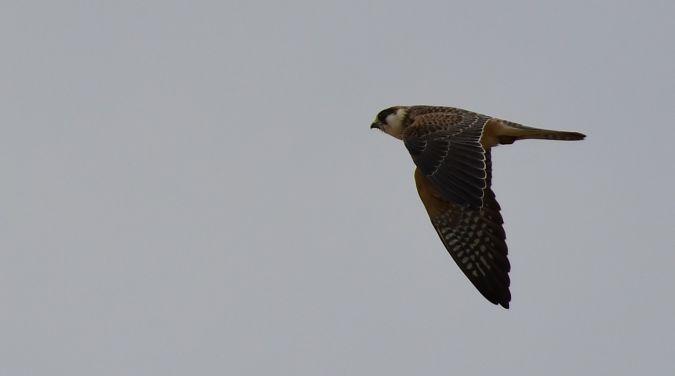 Red-footed Falcon  - Jarosław Mydlak
