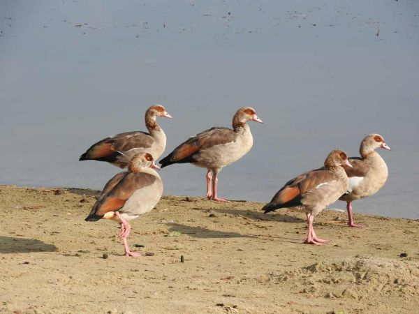 Egyptian Goose  - Waldemar Okupniczak