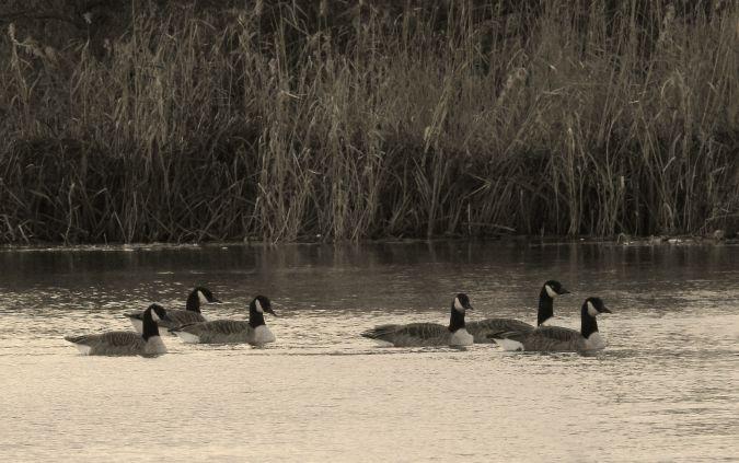 Canada Goose  - Artur Błąd