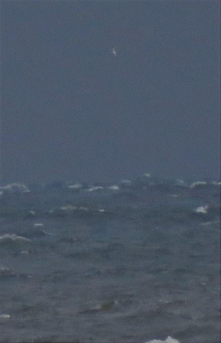 Northern Gannet  - Ryszard Rudzionek