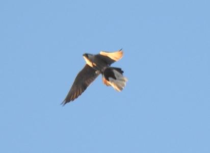 Peregrine Falcon  - Małgorzata Grabek