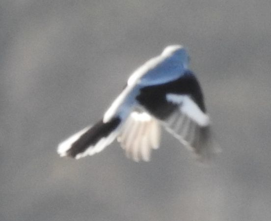 Great Grey Shrike  - Jarosław Słowikowski