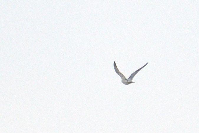 Peregrine Falcon  - Robert Kraska