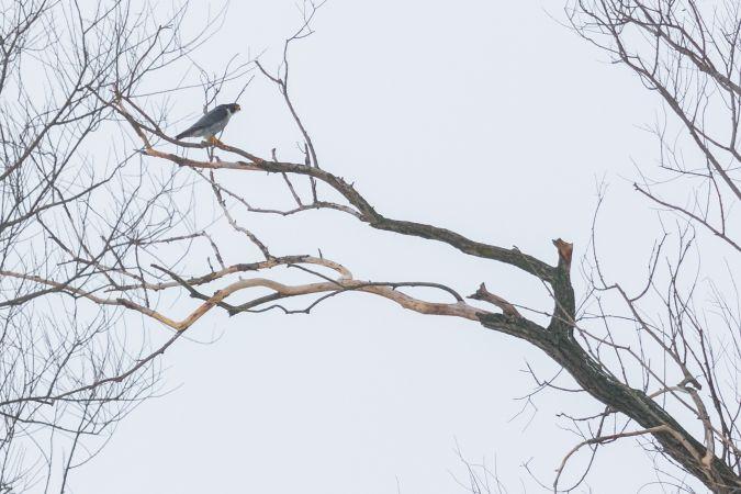 Peregrine Falcon  - Anonymous