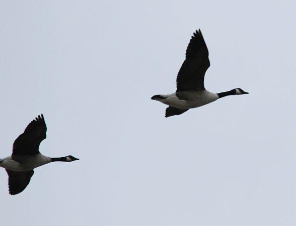 Canada Goose  - Krzysztof Szaniawski