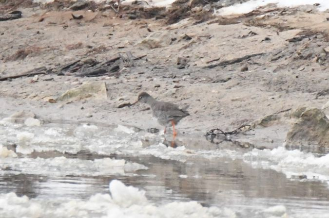 Common Redshank  - Maciej Zengel