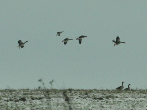 Barnacle Goose  - Łukasz Krajewski