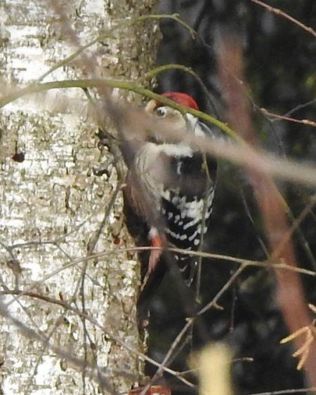 White-backed Woodpecker  - Agnieszka Henel