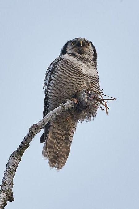 Northern Hawk-Owl  - Wawrzyniec Wichrowski