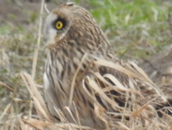 Short-eared Owl  - Anonymous