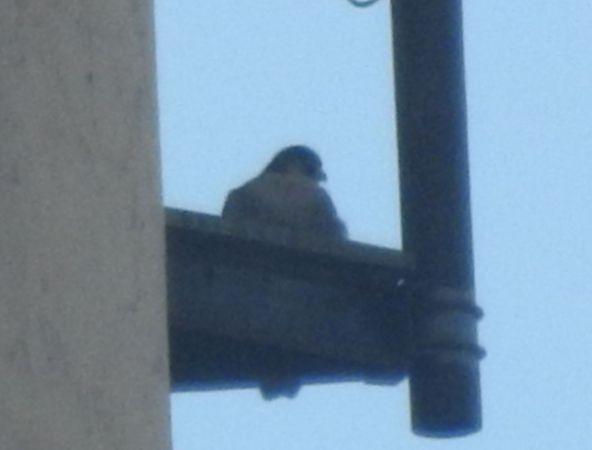 Peregrine Falcon  - Sławomir Ligęza