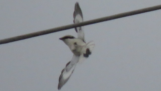 Great Grey Shrike (L.e.homeyeri)  - Ryszard Rudzionek