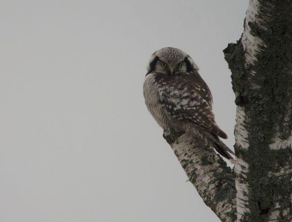 Northern Hawk-Owl  - Grzegorz Grygoruk