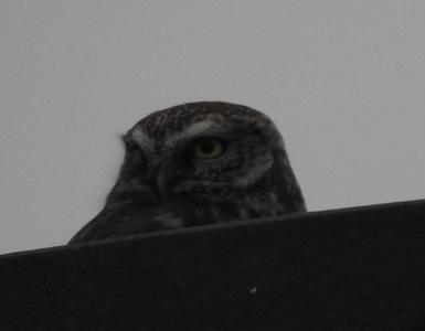 Little Owl  - Małgorzata Grabek