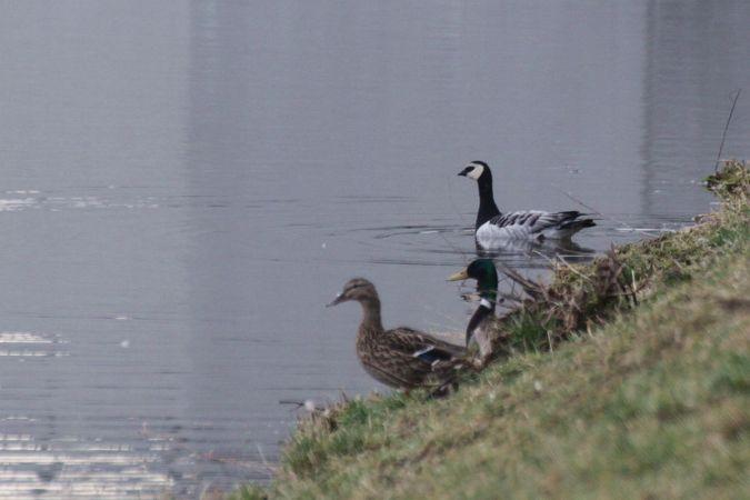 Barnacle Goose  - Krzysztof Czajowski