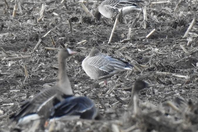 Pink-footed Goose  - Wiktor Kroker
