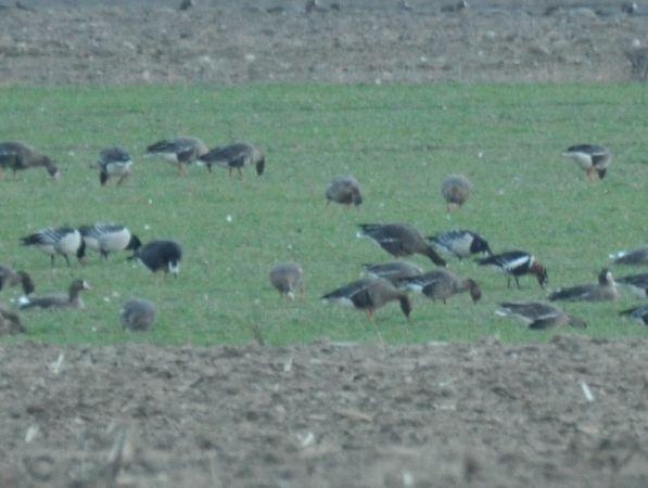 Red-breasted Goose  - Łukasz Krajewski