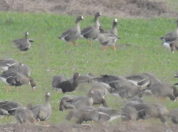 Goose hybrid, unidentified  - Łukasz Krajewski