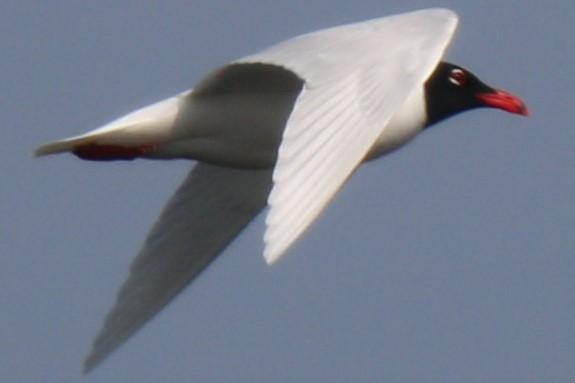 Mediterranean Gull  - Robert Zbronski