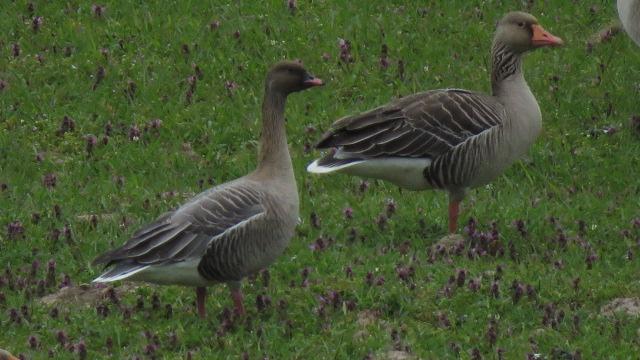 Pink-footed Goose  - Ryszard Rudzionek
