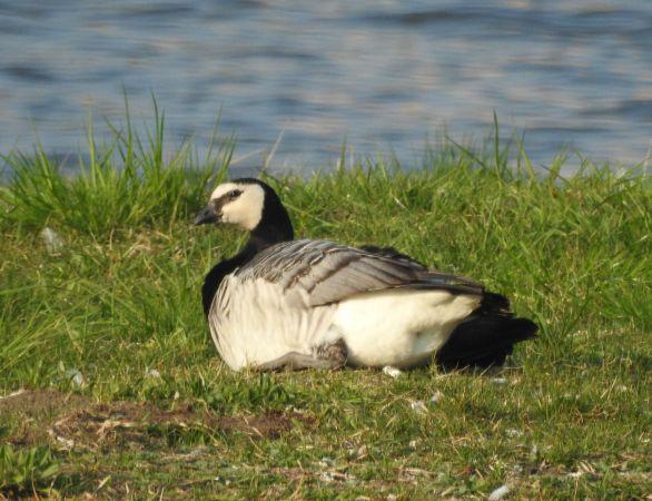 Barnacle Goose  - Maciej Gierszewski