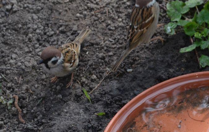 Eurasian Tree Sparrow  - Hanna Żelichowska