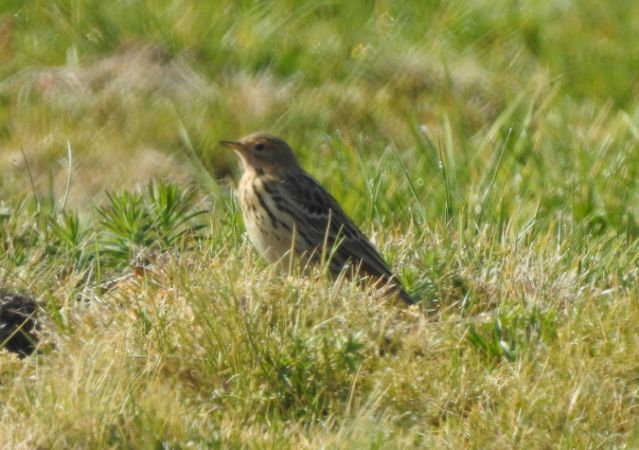 Red-throated Pipit  - Agnieszka Henel