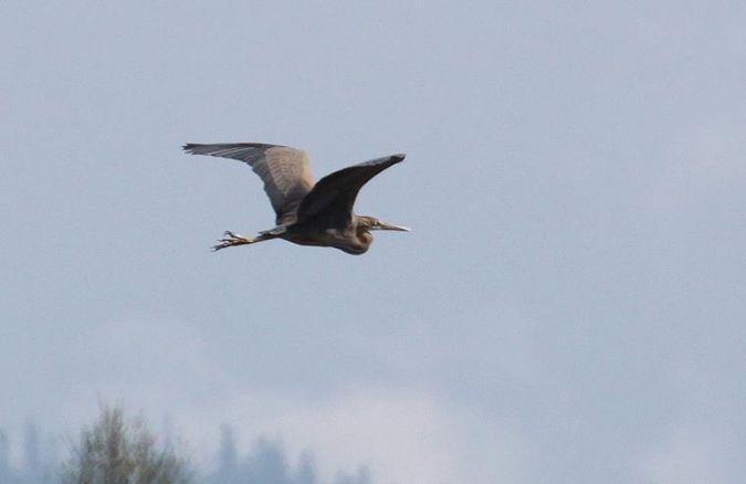 Purple Heron  - Michał Jarończyk