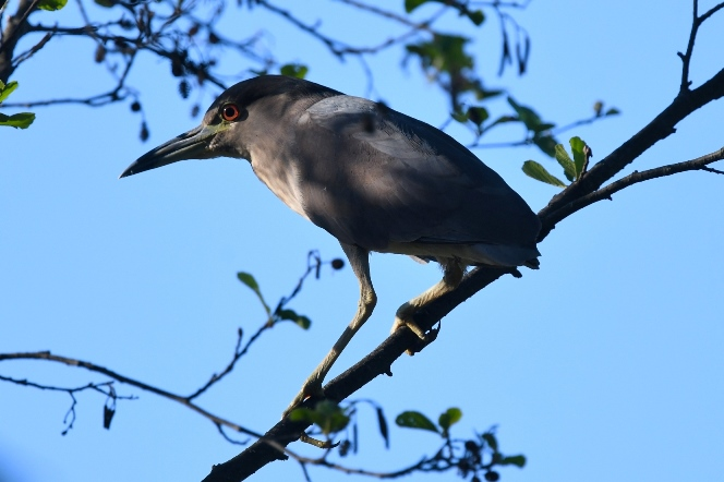 Black-crowned Night Heron  - Piotr Guzik