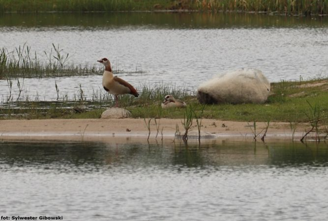 Egyptian Goose  - Sylwester Gibowski