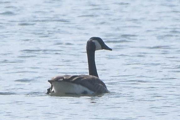 Canada Goose  - Wyka Jakub