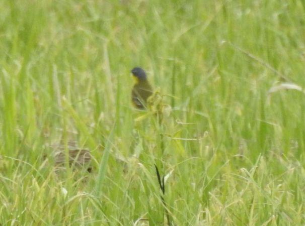 Western Yellow Wagtail (M.f.thunbergi)  - Sławomir Ligęza
