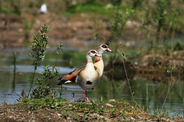 Egyptian Goose  - Maciej Kulmajer