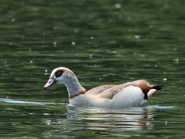 Egyptian Goose  - Witold Nocoń