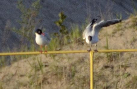 Mediterranean Gull  - Krystian Urbański