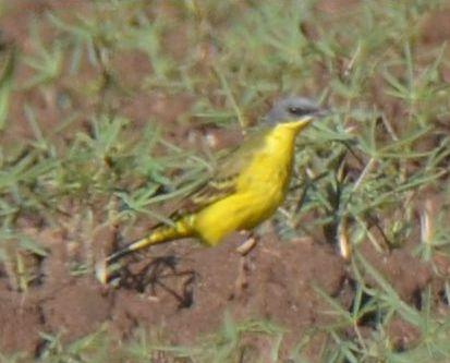 Western Yellow Wagtail (M.f.thunbergi)  - Piotr Bulski
