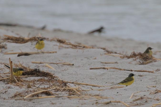 Western Yellow Wagtail (M.f.thunbergi)  - Mateusz Ściborski
