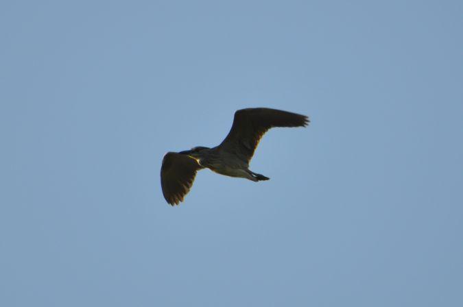 Black-crowned Night Heron  - Karolina Prochowska
