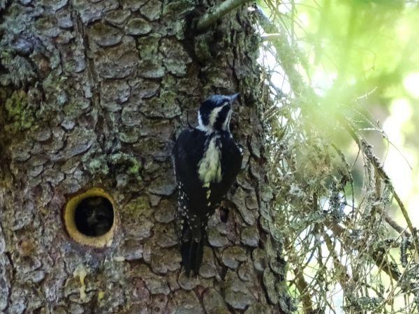 Eurasian Three-toed Woodpecker  - Leszek Stankiewicz